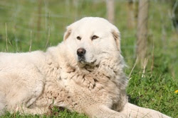 the other dog that i choose is pyrenean mountain dog