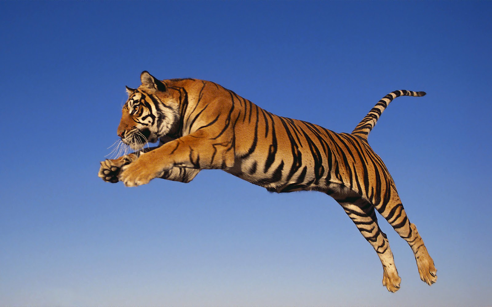 the wallpapers tiger wallpapers hd