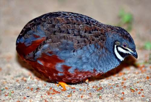 Indian bird - King quail - Coturnix chinensis