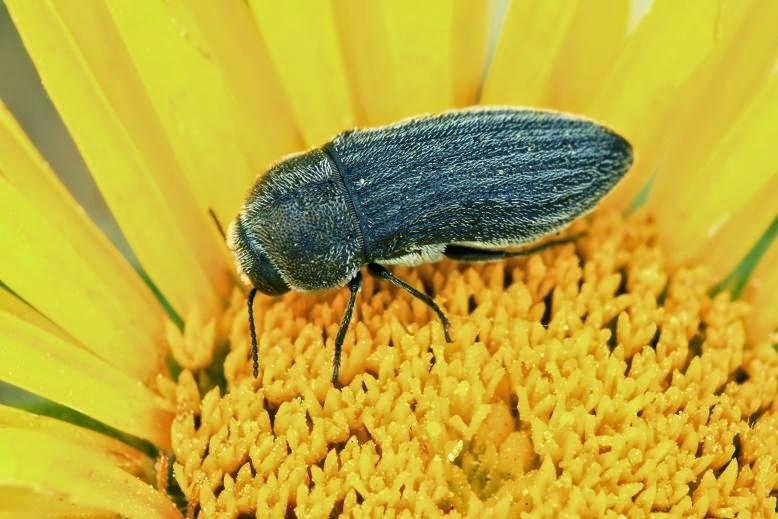 Acmaeoderella coarctata