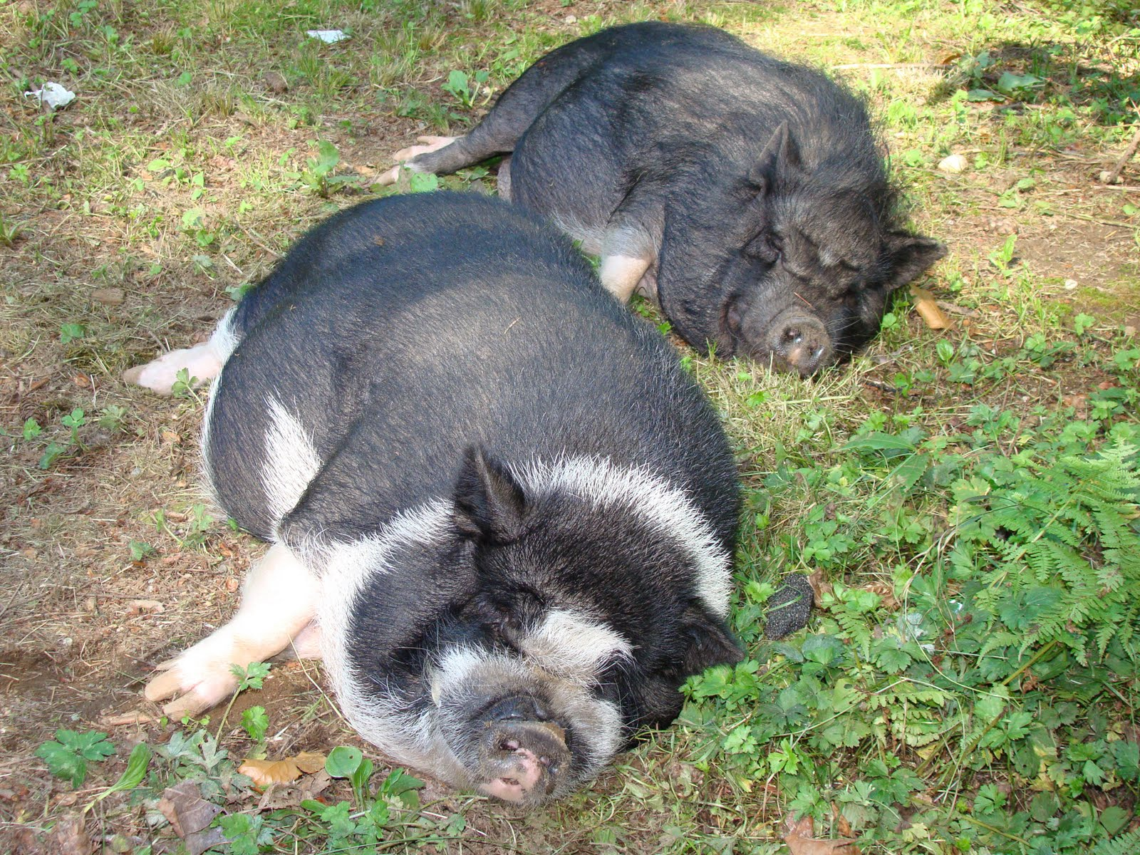 Teacup Potbelly Pigs Full Grown