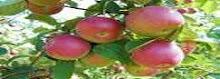 Colheita de maçã em Verger !