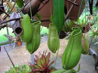 Plantas carnívoras, Botanic Garden, Darwin, Australia, vuelta al mundo, round the world, La vuelta al mundo de Asun y Ricardo