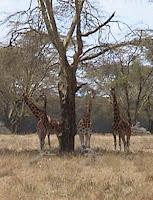 Giraffe+taxonomy