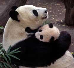 http://3.bp.blogspot.com/_-3vumF_OGUo/ShgMhiWeN7I/AAAAAAAAAOU/y393t2Lyn1E/s320/pandas-hugging.jpg