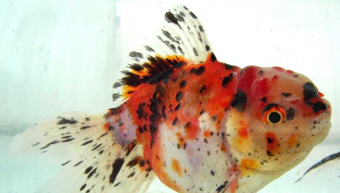 Acuicultura punta negra peces ornamentales for Manual de peces ornamentales