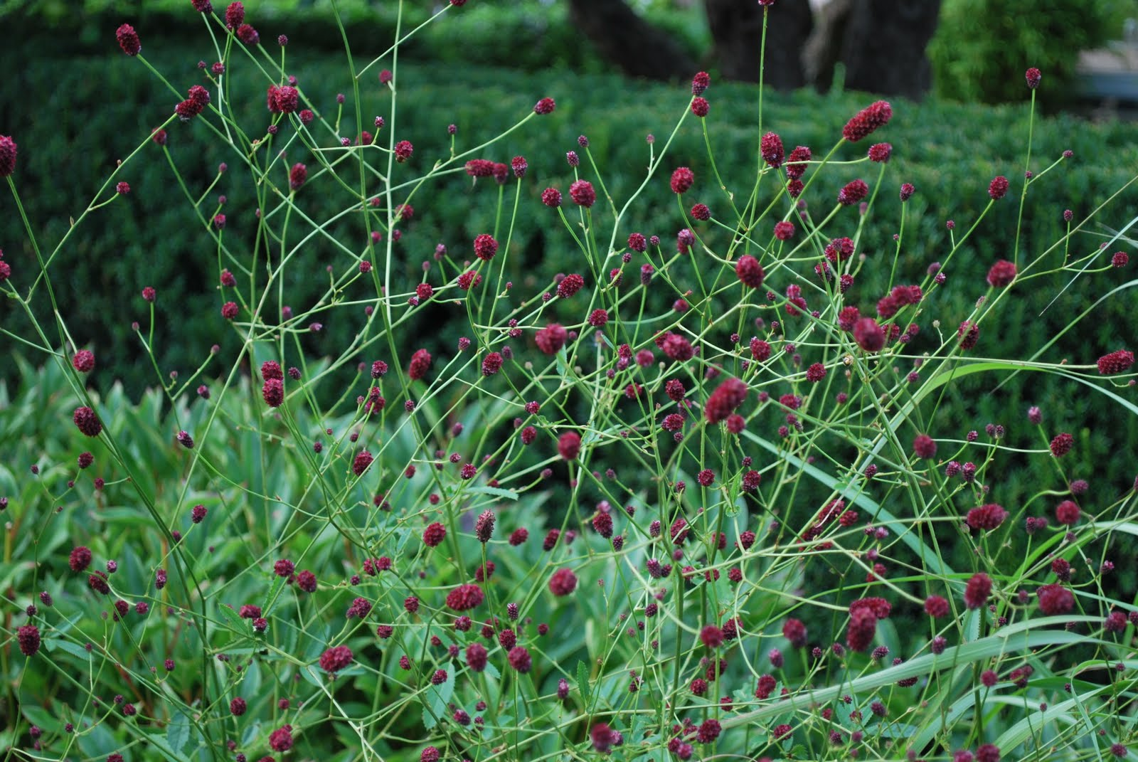 Katarinas tr dg rd blodtoppar for Sanguisorba officinalis red thunder