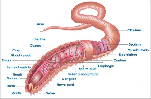 Earthworm Dissection External - redemit