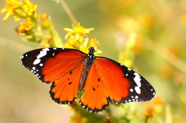http://3.bp.blogspot.com/_-BRcg6cjexg/S_LLSpPwCUI/AAAAAAAACiE/1Bbnk3hyftM/s1600/mariposa-monarca.jpg