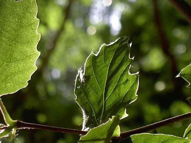 Por qué las hojas expuestas al sol no se calientan