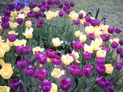 The Tulip Festival Albany NY