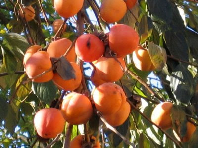 alberi di cachi ovunque in paese