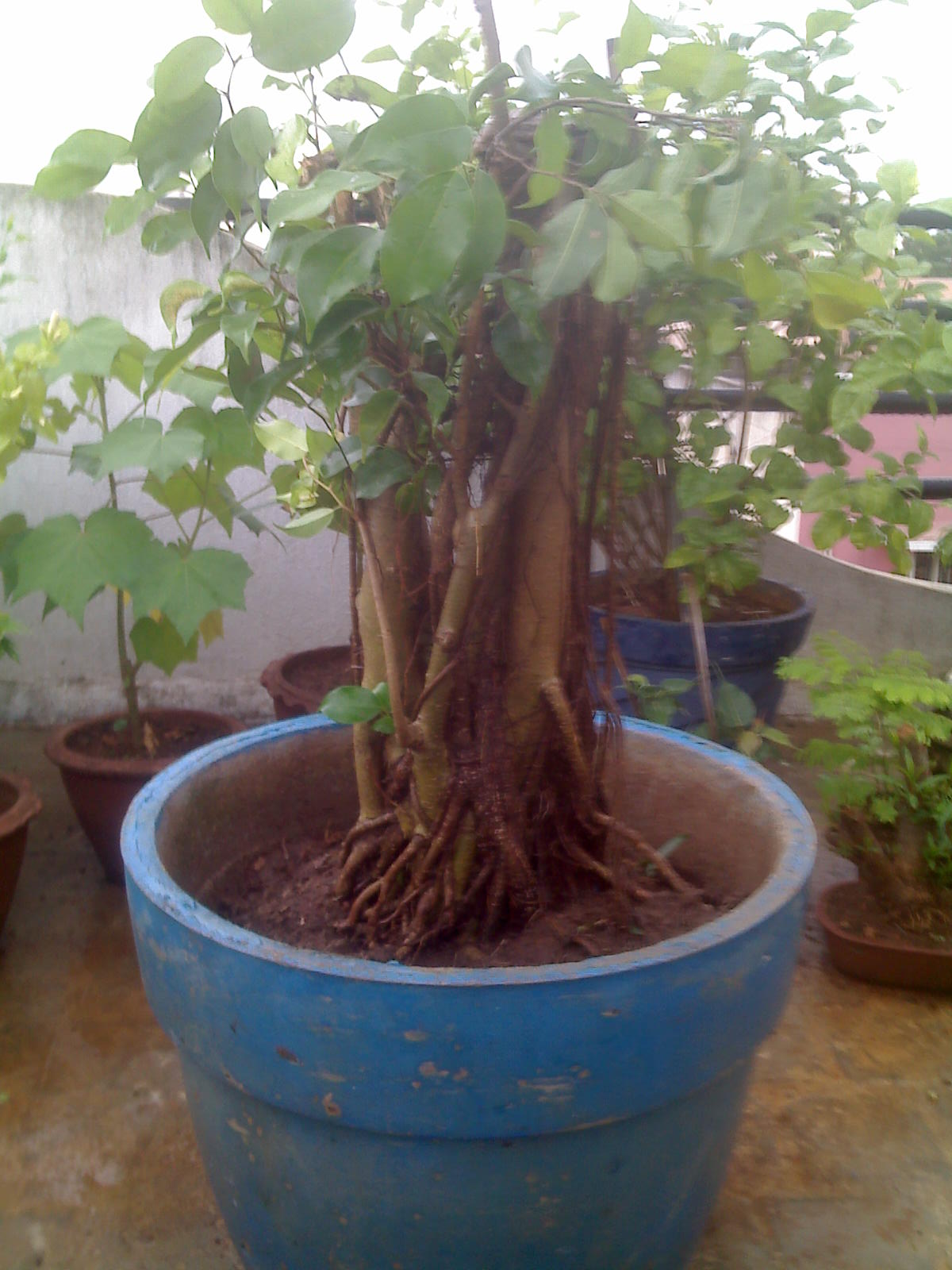 Indian Bonsai My Effort To Make A Banyan Bonsai