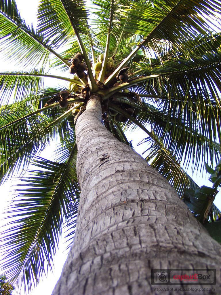 essay coconut tree
