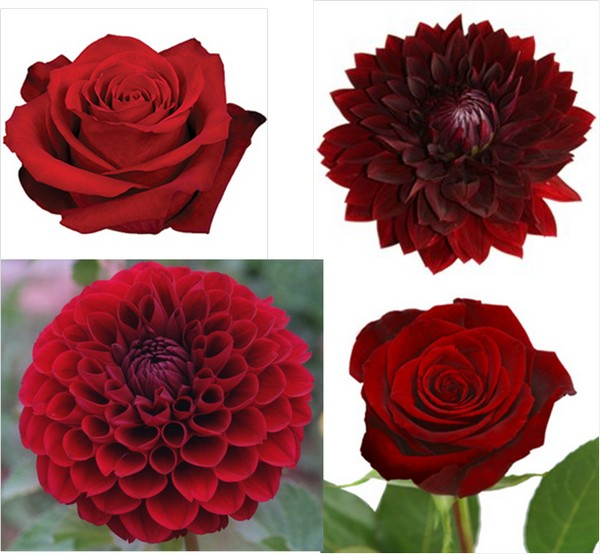 Dahlia Burgundy Black Flower: Steel City Bride: A Pittsburgh Wedding: Ninth Time's The Charm