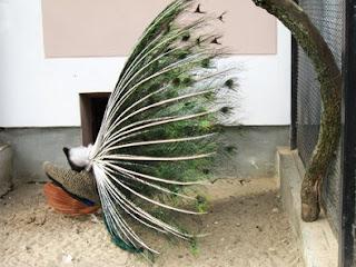 павлин, гродненский зоопарк