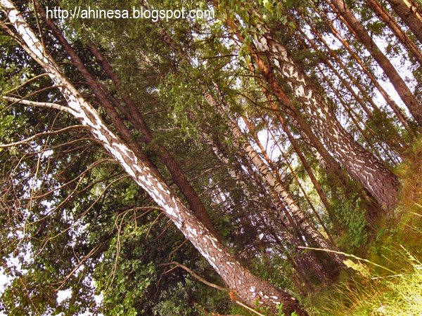 лес в Поречье