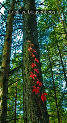 лес, осень, красная листва