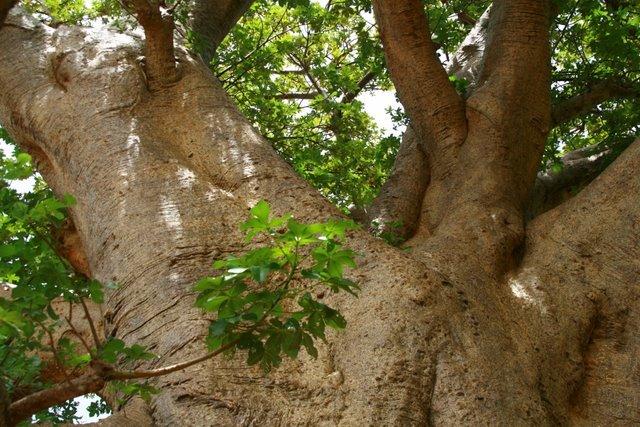 Baobab +100 años