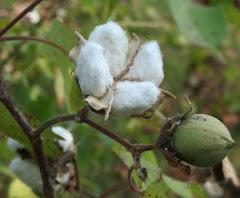 Flor de algodão !!