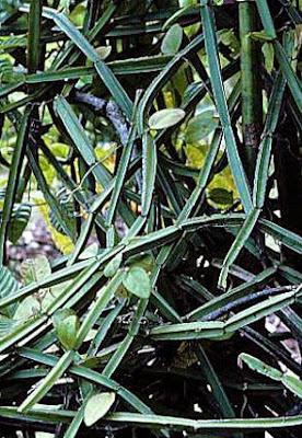 ramilla de cissus quadrangularis
