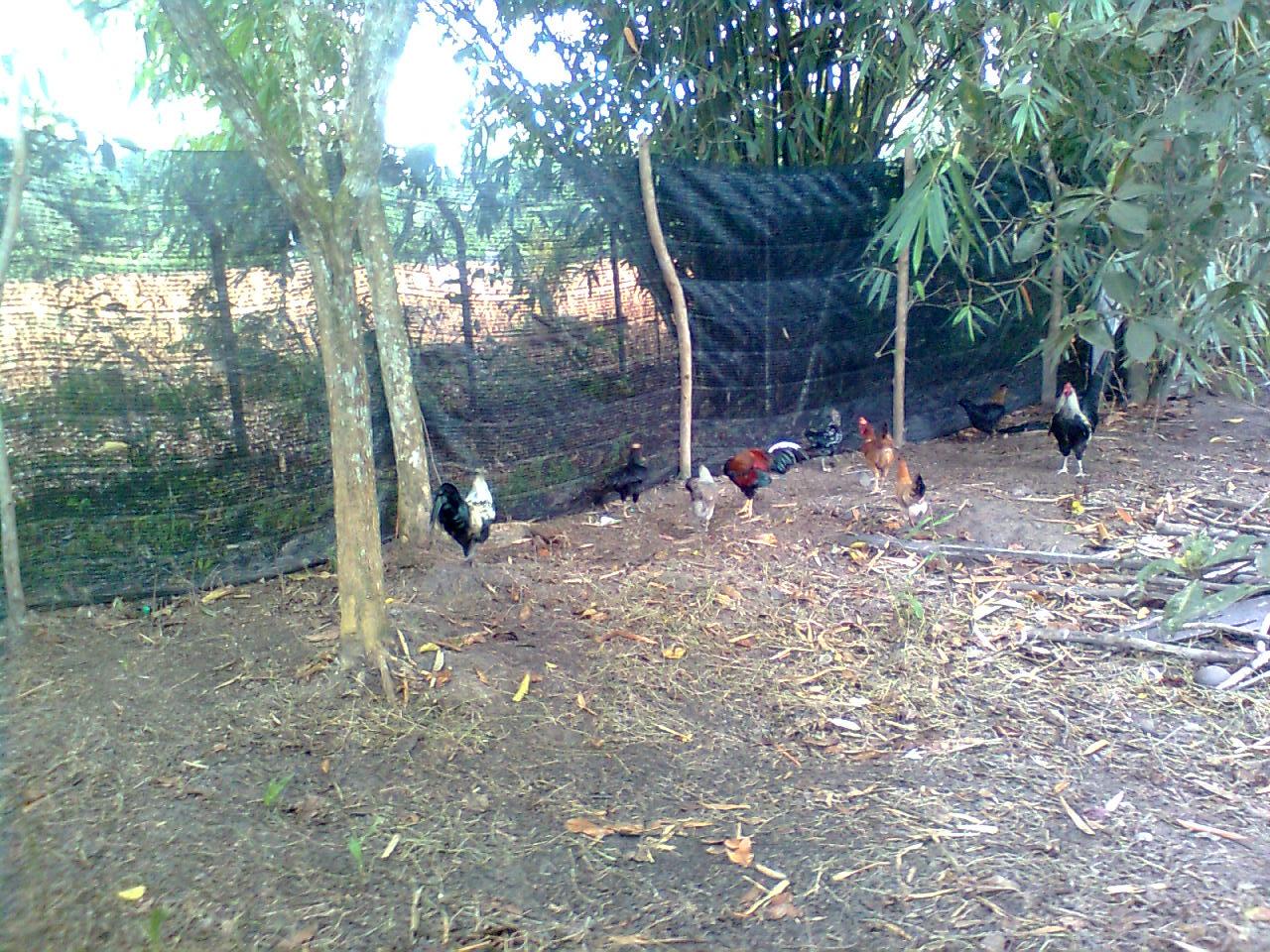 Chickenisme Bukan Sekadar Cerita Ayam Sekitar Reban