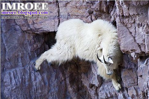 kambing gila memanjat tebing gunung