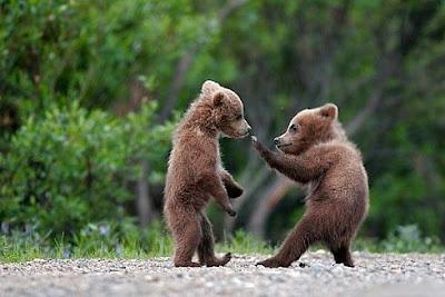 Luta entre Ursos