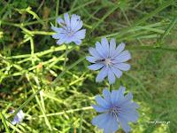 Ραδίκια άγρια-Cichorium intybus
