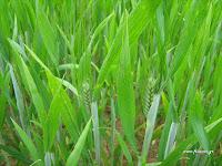 Καλλιέργεια σιταριού ποικιλίας μαυραγάνι