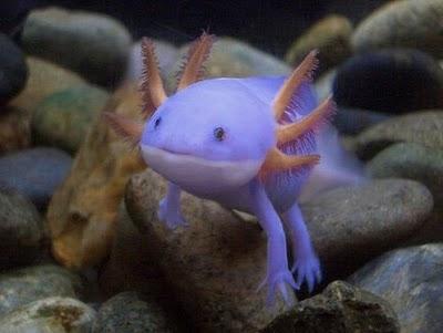 """Axolotl, atau """"Ikan berjalan dari mexico"""", adalah jenis binatang"""