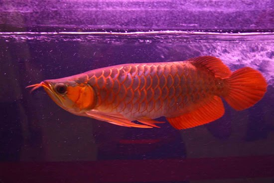 Photograph S And Wallpaper Arowana The Red Dragon Fish
