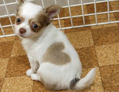 Valentines Day Heart Puppy is a cute cat with an unusual spot on his side.