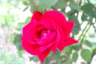 roze roos rose