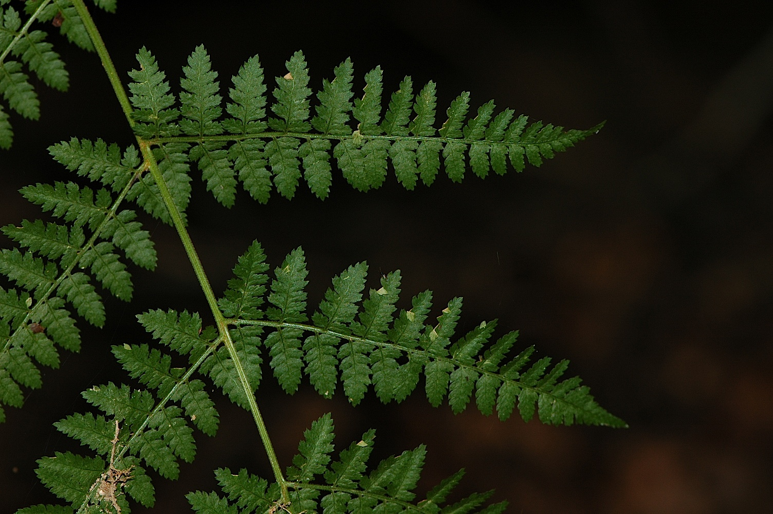 Non Flowering Plant Fern Ferns Are Non Flowering Plants