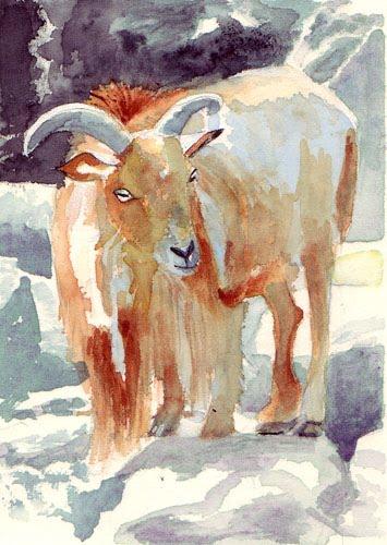 barbary sheep   aoudad