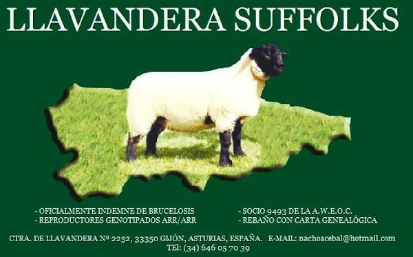 LLAVANDERA SUFFOLKS