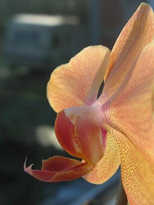 Orchidée phalaenopsis 008 - Leuze-en-Hainaut - Belgique - Anne-Sarine Limpens - 2008