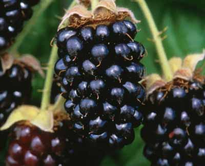 Marionberry Jammers: A slice of Oregon in Cambridge