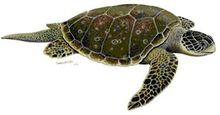 Gambar Penyu Hijau Mydas 29 Tahun Hirth Mengklasifikasikan  Kingdom Animalia Sub Metazoa Phylum Chordata Vertebrata