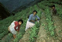el super exceso en las plantaciones de coca está originando el exceso de droga