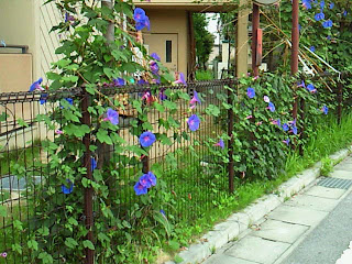 Japanese morning glory