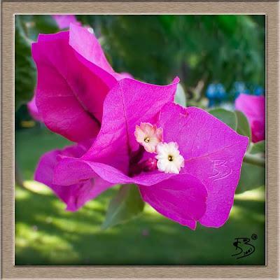 Juanjo sanchez fotografia buganvilla rosada for La buganvilla zaragoza