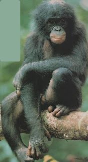 el bonobo