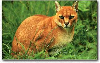 Gato Dorado Affricano