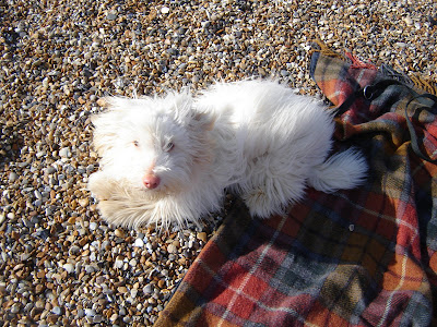 coton de tulear on beach