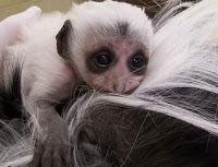colobus baby