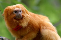 golden lion tamarins born