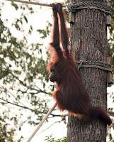 orangutan bridge
