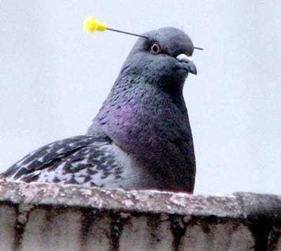 pigeon impaled